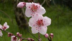 Дерево персик: фото и описание веток, плодов и цветов персика. Где растут персики