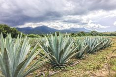 agave fields santiag