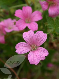 "oxonianum Wargrave Pink, height 60cm (24""), spread 90cm (36""), flowering May to October tolerates heavy shade"