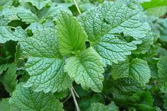 Lemon Balm       To utilize lemon balm's repellent properties, simply pick some of the fresh leaves, crush them between your palms, and then rub on your exposed skin.