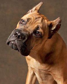 Brindlequin Great Dane Great Danes Pinterest Dog