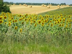 Summer in the Charente Maritime. ..near Saint Savinien.