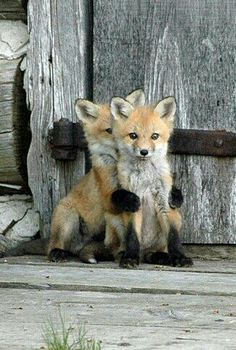 2 little foxes
