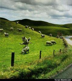 Le loup joue à saute mouton - The wolf plays leapfrog