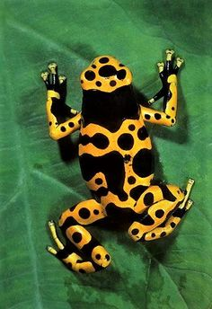 Colorful Animals, Nature Animals, Baby Animals, Funny Animals, Cute Animals, Frosch Illustration, Amazing Frog, Poison Dart Frogs, Frog And Toad