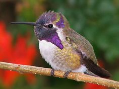 Humming Birds Migration ~~  Migration mapping begins February 20.