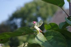 Mr. Greens Welt: Apfelblüte im September