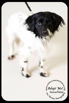 REUNITED WITH FAMILY #LOSTDOG 1-9-14 #STPAUL #MN #SPANIEL #PAPILLON SPAYED FEMALE SHERBURNE BETWEEN AVON AND NORTH VICTORIA ST WHITE WITH BLACK FACE 9 MONTH OLD 13LBS WEARING COLLAR DRAGGING LEASH 715-377-0090 https://www.facebook.com/LDoMN/posts/10151952074433303:0