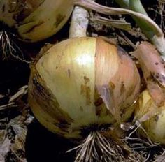 Make Your Own Organic Natural Yellow Fabric Dyes: Yellow Onions