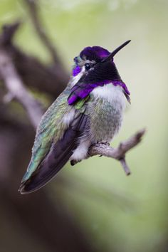 Image of HUMMINGBIRD IN TUCSON, ARIZONA -- Love hummingbirds and nature as much as we do?  Learn more at http://www.examiner.com/article/astounding-nature-arizona-holds-the-hummingbird-capital-of-the-united-states