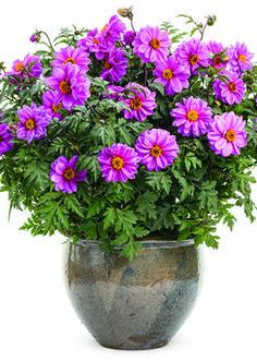 44 best purple plants images on pinterest in 2018 purple plants proven winners dahlightful lively lavender dahlia variabilis purple lavender plant details information and resources mightylinksfo
