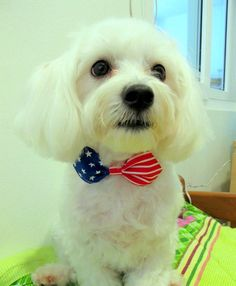 Patriotic Dog Bow Tie Collar for Palmer