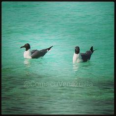 Guanaguanare #Aves #ParqueNacional Archipiélago de #LosRoques #NuestraTierra #Venezuela