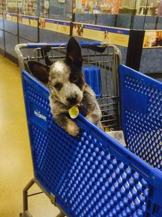 Nothin like a heeler baby face Aussie Cattle Dog, Austrailian Cattle Dog, Cattle Dogs, Cute Funny Animals, Cute Baby Animals, Animals Dog, Cute Puppies, Dogs And Puppies, Doggies