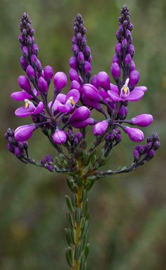 ~~Comesperma ericinum - Heath Milkwort by Bill Higham~~