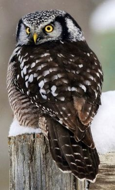 Northern Hawk Owl via www.Facebook/OurWorldsView