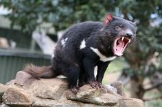 The Tasmanian Devil (Sarcophilus harrisii), is a carnivorous marsupial now found… Tasmanian Tiger, Tasmanian Devil, Wombat, Baby Animals, Cute Animals, Odd Animals, Exotic Animals, Aggressive Animals, Australian Animals