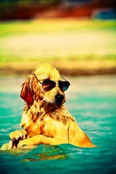 Looking Beautiful Golden retriever puppy in Swim Pool | Cute puppy and dog
