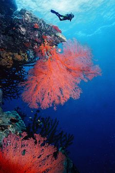 Scuba Dive the Great Barrier Reef Australia! or scuba dive anywhere Great Barrier Reef Australia, Diving Australia, Australia Travel, Poisson Mandarin, Places To Travel, Places To Visit, Travel Destinations, Work And Travel Australien, Brisbane