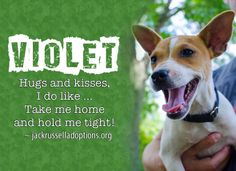 Today's featured Jack Russell rescue for foster or sponsorship - Violet!