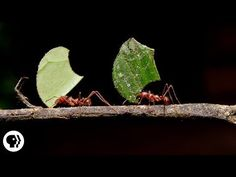 Where are the ants carrying all those leaves? by kqedscience: Humans have been farming for around 12,000 years. Ants have been doing it for 60 million. Ants don't eat leaves. They use them to grow white tufts of nutritious fungus to feed their offspring. Their success as farmers has made leafcutter ants into fungus tycoons, complete with their own underground cities and huge half-inch soldiers to patrol them. All new video from Deep Look, a pro