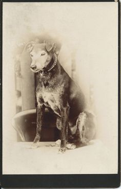 """c.1890 cabinet card of an old dog with fancy collar. No photographer's information. No identification of the dog. """"Just"""" a dog who was clearly adored — for many years — by his human companions. It doesn't get more beautiful than that. From bendale collection"""