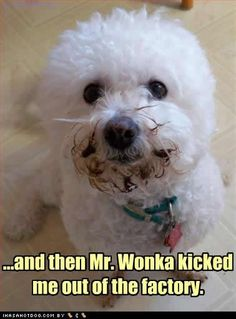 Looks like when I had to make an emergency room visit at midnight after my bichon got into some Hershey Kisses!!