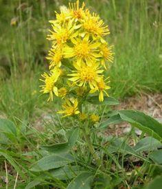 ZLATNICA (Solidago virgaurea) Fam. Asteraceae | Ljekovite biljke