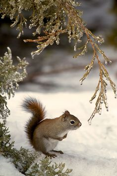 Lovely squirrel pic in the snow between frozen tree branches.