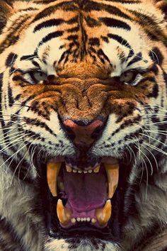 Tiger roaring close up Beautiful Creatures, Animals Beautiful, Animals And Pets, Cute Animals, Scary Animals, Wild Animals, Angry Tiger, Tiger Tiger, Golden Tiger