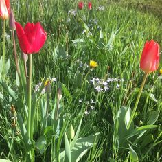 #spring #tulips #flowers #nature #green #pretty #happy #picoftheday #photooftheday