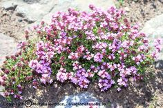Backtimjan blommar - Magia Naturalis Garden, Sun, Magick, Garten, Lawn And Garden, Gardens, Gardening, Outdoor, Yard