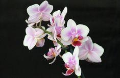 Come far fiorire l'orchidea: cosa fare quando l'orchidea non fiorisce. Concime specifico e soprattutto come capire perché l'orchidea non fiorisce.