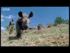Baby rhino calf finds friends in the wild after abandoned by mother