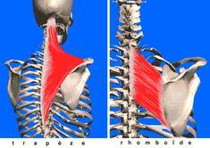 musculation du haut du dos , trapèze et rhomboïde
