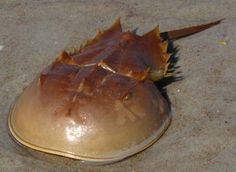 horseshoe crabs are legit. they're probably the slickest looking crustacean ever.