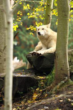 10bullets:  Wolf by beth keplinger on Flickr.