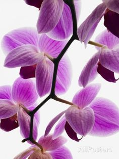 Phalaenopsis orchids Photographic Print AllPosters         Phalaenopsis orchids Photographic Print - 18 x 24 in $32.99
