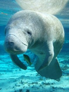 At Blue Spring State Park you can see manatees. Note: Blue Springs is actually in Orange City, several miles north of Orlando, next to DeLand. But it is a wonderful place!