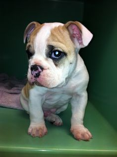 Hi I'm Vinny and I'm the cutest bully ever.   I took this at work when he was maybe 6 weeks