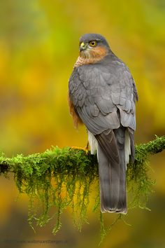 Great meeting with a Eurasian Sparrowhawk. photo: Walter Soestbergen