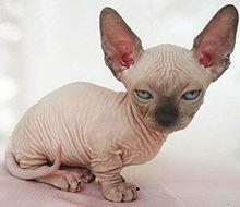 Bambino cat.jpg