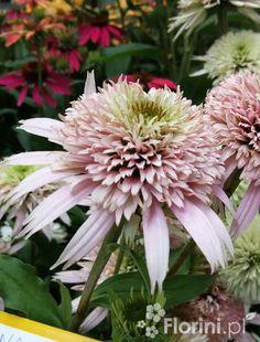 Jeżówka Cherry Fluff Echinacea - Byliny ogrodowe - F-J - Florini.pl Cherry Fluff, Plants, Plant, Planets