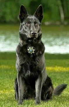 What a beauty . . . . Law Enforcement Today www.lawenforcementtoday.com #germanshepherd