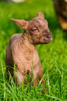 Funny little sheep by Tambako The Jaguar