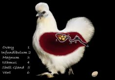 """Chickens, Eggs, Fertilization, Reproduction and Other """"Insider Information"""""""