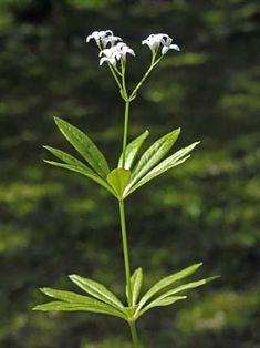 Waldmeister, Galium odoratum - Blütenpflanzen - NatureGate
