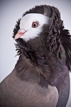 beautiful and unusual pigeons - Google Search