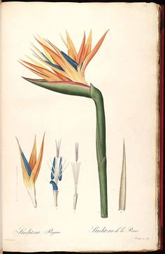 Botanical - Flower - Bird of paradise Botanical - Flower - Bird of paradise Bird of Paradise, color illustration. Botanical illustration, various. Scan of 2 d images in the public domain believed to be free to use without restriction in the US. Botanical Flowers, Exotic Flowers, Botanical Art, Lilies Flowers, Botany Illustration, Illustration Botanique, Vintage Botanical Prints, Botanical Drawings, Art Floral