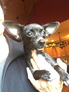 LuLu is an adoptable Chihuahua searching for a forever family near Chattanooga, TN. Use Petfinder to find adoptable pets in your area.